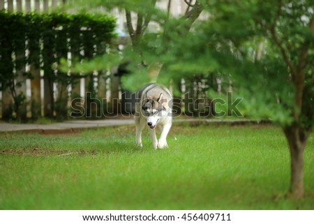 Siberian husky gray and white colors walk in grass field, dog in the park, dog activity - stock photo