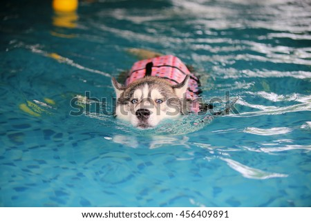 Siberian husky gray and white colors with blue eyes wear life jacket swim in swimming pool, dog swimming, dog activity, fluffy dog, happy dog - stock photo