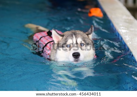 Siberian husky gray and white colors with blue eyes wear life jacket swim in swimming pool, dog swimming, dog activity, happy dog - stock photo