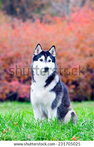 Siberian Husky in autumn park - stock photo
