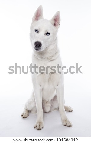 Siberian husky in front of white background - stock photo