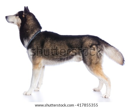 Siberian husky in standing on a white background - stock photo