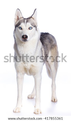 Siberian husky in standing on a white background