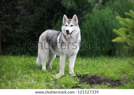 Siberian husky in the grass