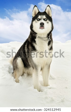 Siberian husky in the snow sits on nature - stock photo