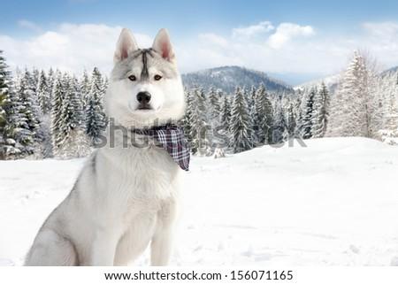 Siberian Husky in winter - stock photo