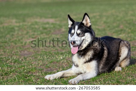 Siberian Husky is resting after jogging. Siberian Husky lies on the grass in the field. Dog enjoys warm sunny day. Fresh green grass covered field after winter.
