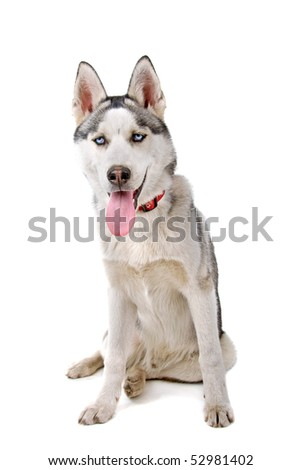 Siberian Husky isolated on a white background