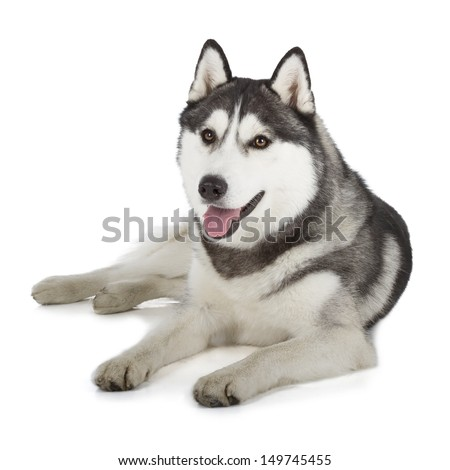 Siberian Husky isolated on white background - stock photo