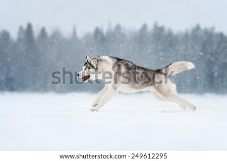 Siberian Husky jumping to snow - stock photo