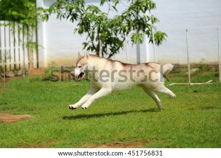 Siberian husky light red and white colors running in grass field, happy dog, dog activity, dog running, dog jumping, dog in the park - stock photo
