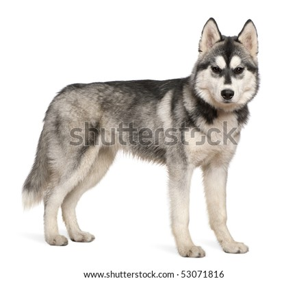 Siberian husky, 6 months old, standing in front of white background - stock photo
