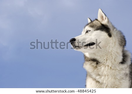 Siberian husky on a  blue sky background