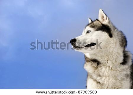 Siberian husky on a  blue sky background - stock photo