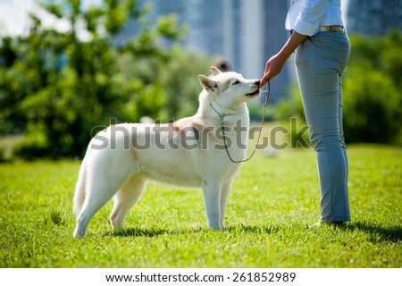 Siberian husky on a show with handler - stock photo