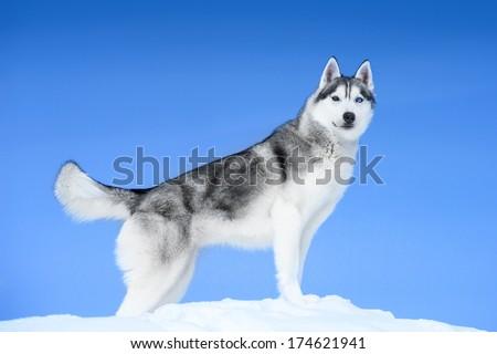 Siberian husky on blue sky background - stock photo