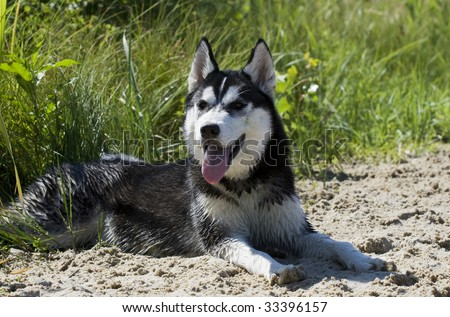 siberian husky on the beach - stock photo