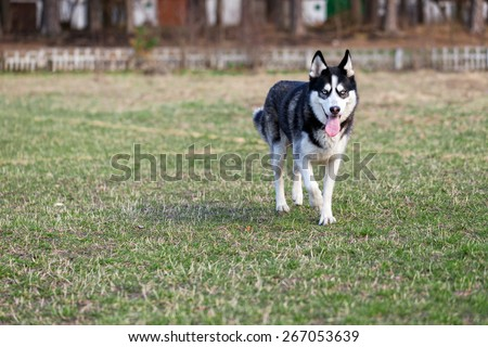 Siberian husky on the walk. Siberian Husky runs around across the field.