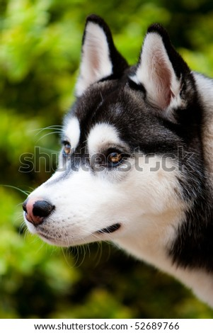 Siberian Husky Outdoors in the Park Portrait - stock photo
