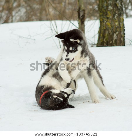 Siberian Husky playing in the snow in winter day - stock photo