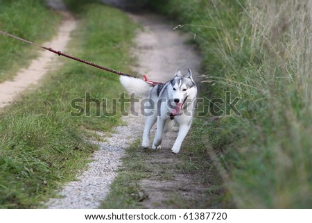 siberian husky pulling on the leash - stock photo