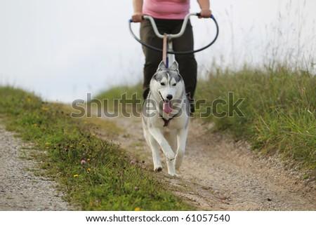 siberian husky pulling the bike - stock photo