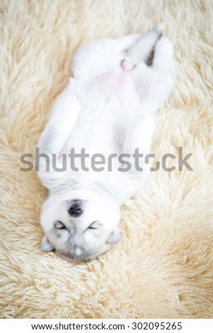 siberian husky puppies sleeping on the wool - stock photo
