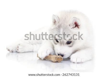 Siberian Husky puppy - stock photo