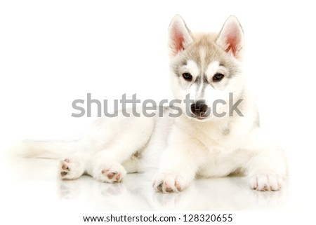 Siberian Husky puppy, age 2,5 months