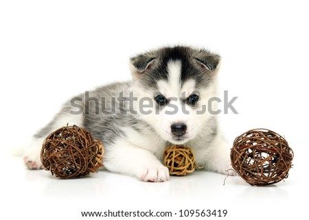 Siberian Husky puppy, age of 1 mounts, isolated on a white background - stock photo