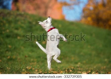 siberian husky puppy dancing - stock photo