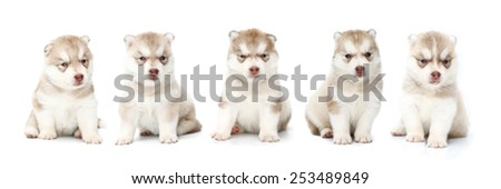 siberian husky puppy dog cute, white background.