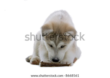 Siberian husky puppy dog isolated on a white background