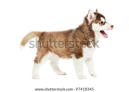 Siberian husky puppy dog one month over white