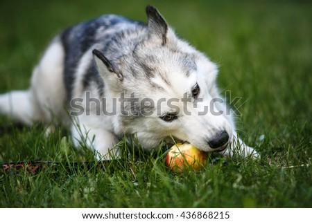 Siberian Husky puppy eats apple on green grass - stock photo