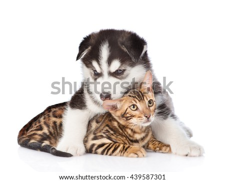 Siberian Husky puppy embracing bengal kitten. isolated on white background - stock photo