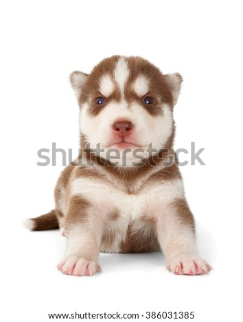 Siberian husky puppy. Front view, isolated on white.