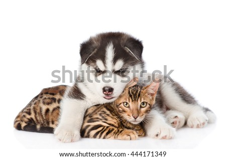Siberian Husky puppy hugging bengal kitten. isolated on white background - stock photo