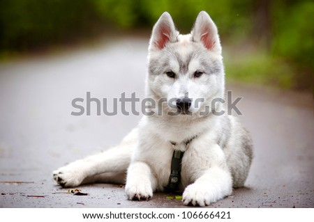 siberian husky puppy in harness - stock photo