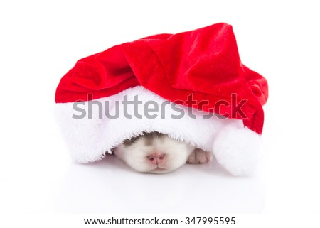 Siberian husky puppy in Santa Claus xmas red hat on white background isolated