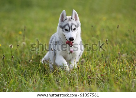 siberian husky puppy in the field - stock photo