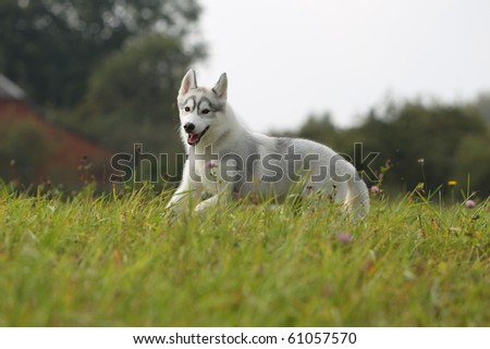 siberian husky puppy in the field
