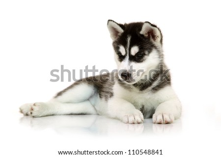 Siberian Husky puppy isolated on a white background