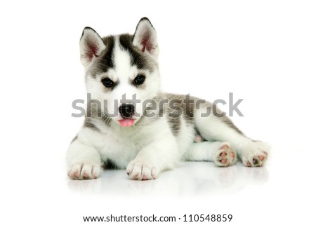 Siberian Husky puppy isolated on a white background - stock photo