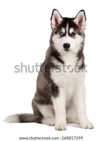 Siberian Husky Puppy isolated on White background - stock photo
