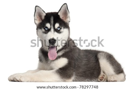 Siberian Husky puppy, 4 months old, lying in front of white background - stock photo