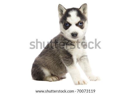 Siberian Husky Puppy on isolated white background