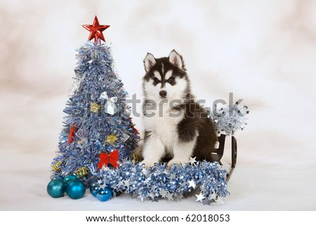 Siberian Husky puppy on sled with blue silver Christmas tree - stock photo