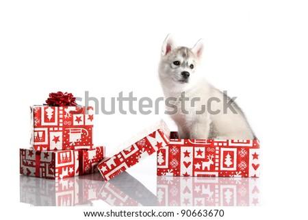 siberian husky puppy on white - stock photo