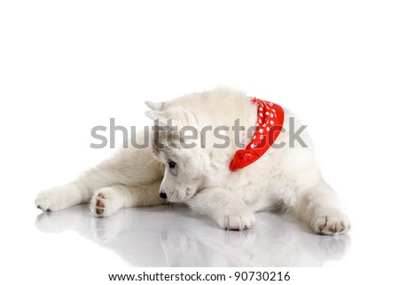 siberian husky puppy on white background